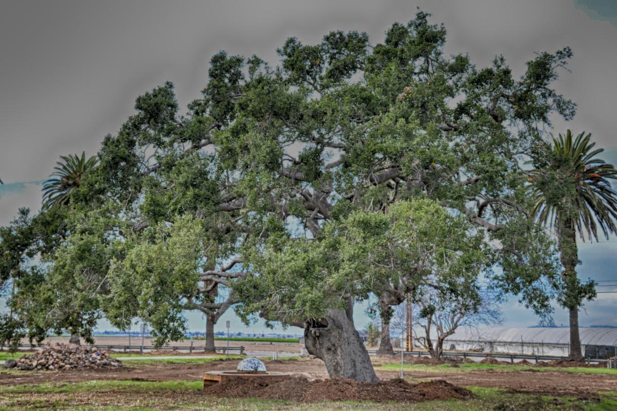 growing works oak treee